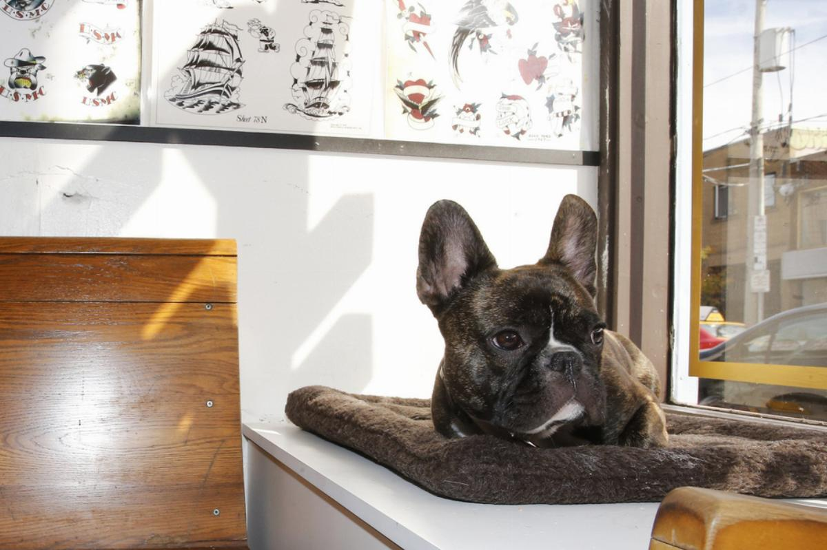 Hamilton a 1 r old French Bulldog sits in the window