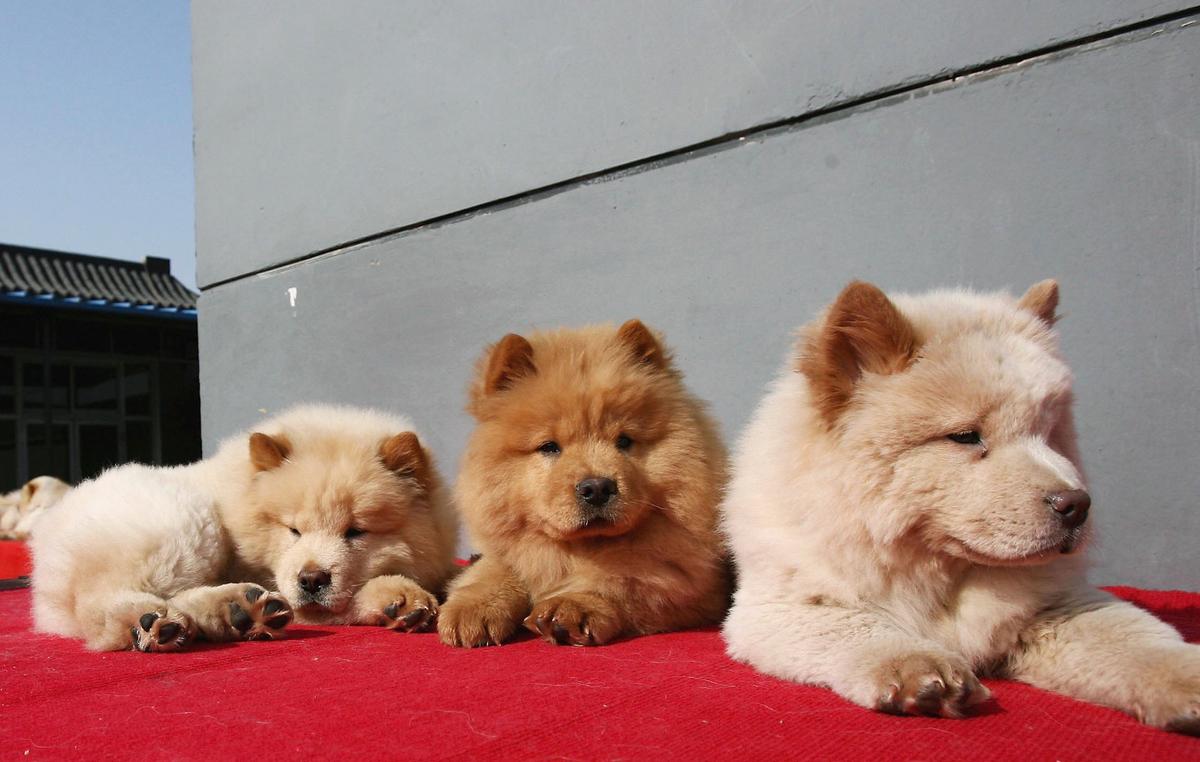 A vendor sells Chow Chow puppies at a pet market.