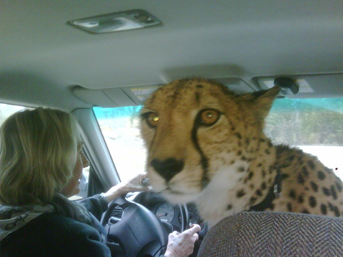 leopard car ride
