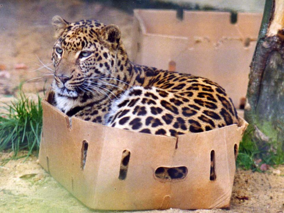 Leopard sits in a cardboard box.