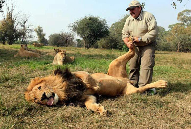 Zookeeper gives lion a foot massage.