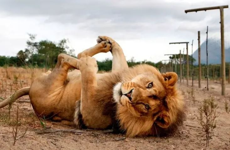 Lion rolls over on his back to play.