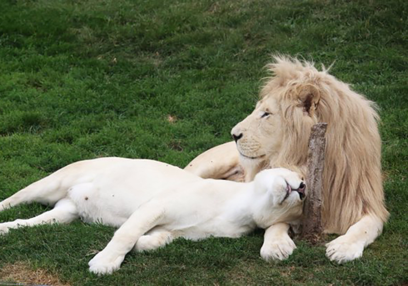 Lionness naps with a male lion at the Toronto Zoo.