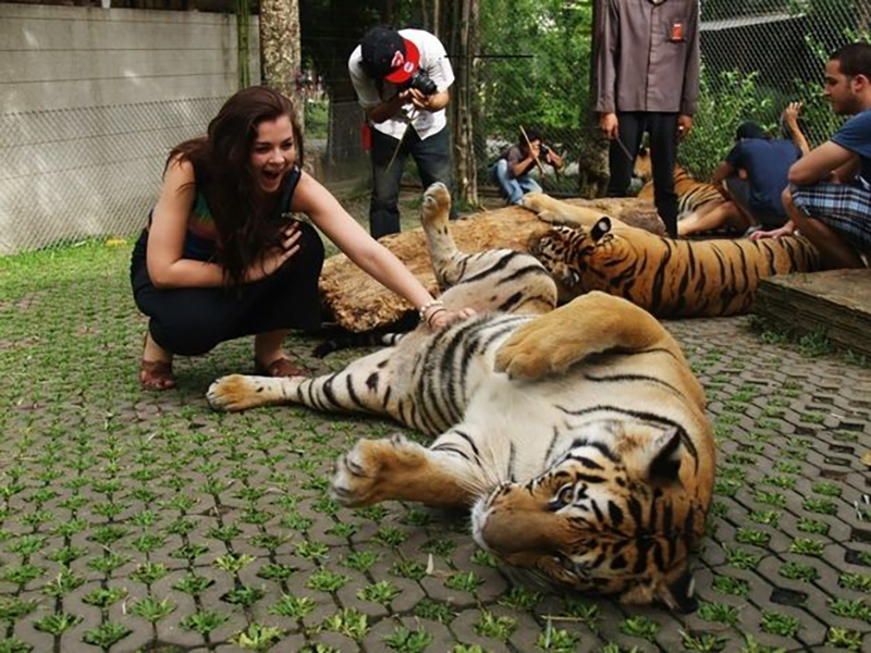 Woman gives full-grown tiger a bell rub.