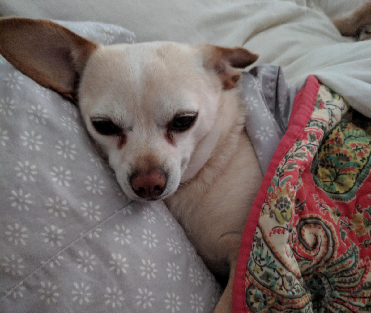 Chihuahua falls asleep tucked into a bed.