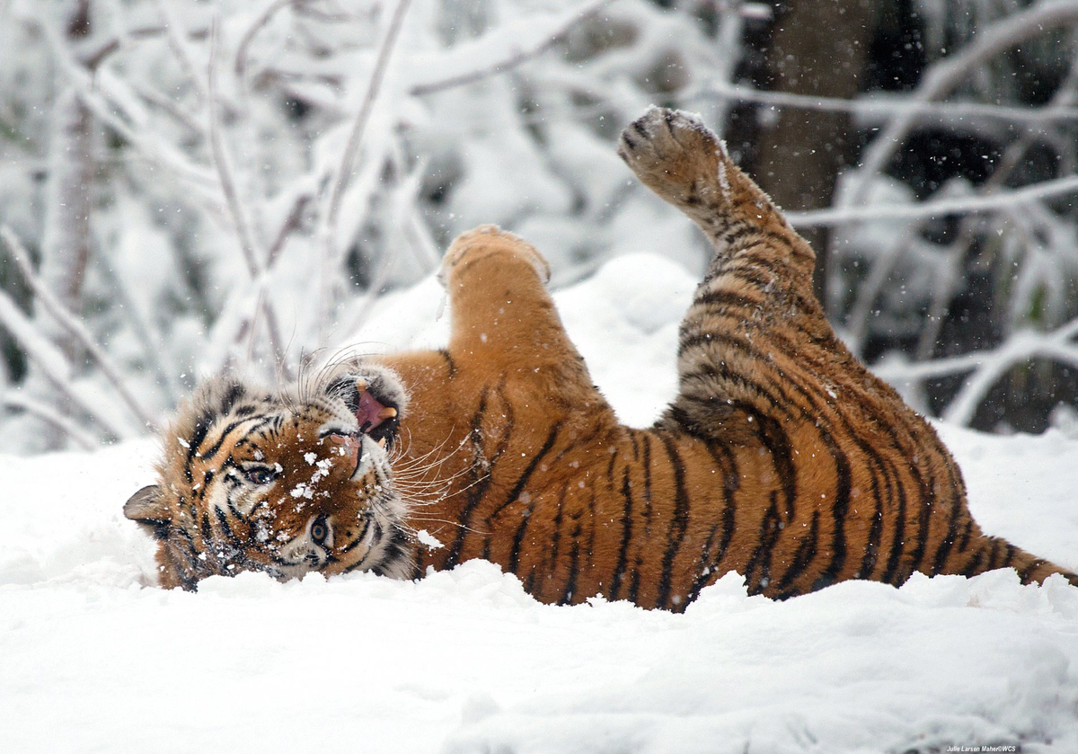 Amur tiger plays in the snow at the Bronx Zoo.