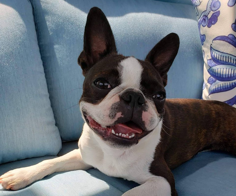 Boston terrier named Walter sits on a blue couch.