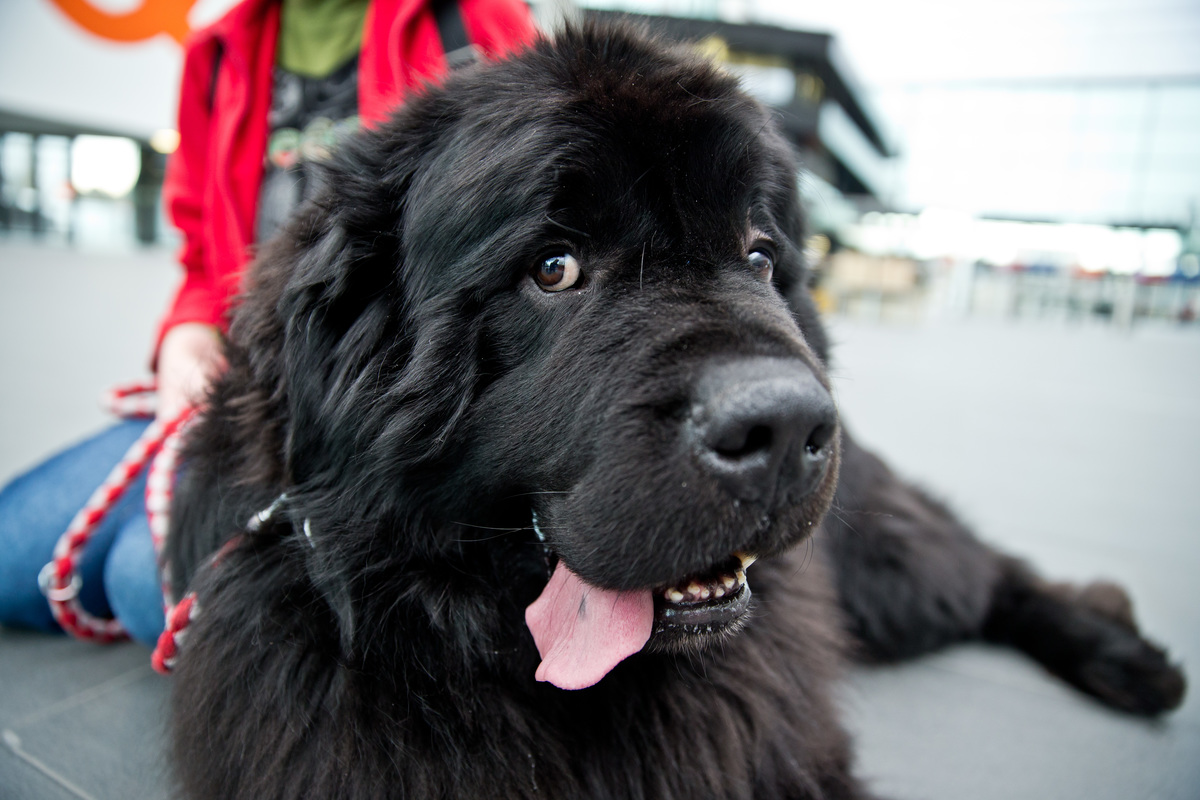 Newfoundland Mambo sits during a press session for the 40th international dog show.