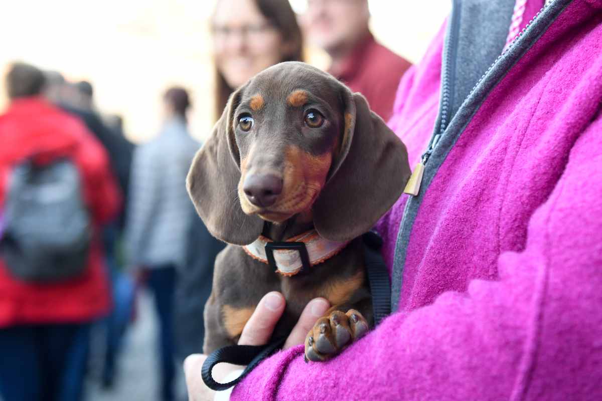 A dachshund is held in the hands of his mistress during a dachshund parade.