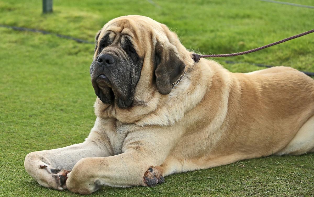 An Old English Mastiff dog watches the golf.