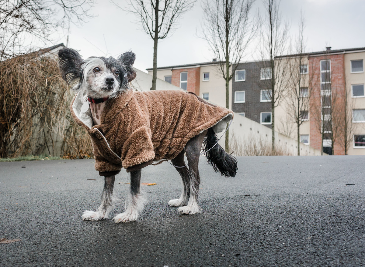 'Wanja', the Chinese Crested Dog, wears a warming brown coat with a cosy collar.
