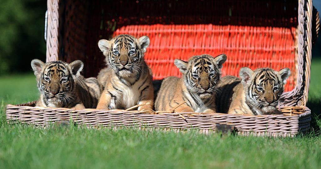 Four Indochinese tiger cubs sit in a basket at the Tierpark zoo in Berlin on September 30, 2011. The four tigers were born at the zoo on August 10, 2011. A