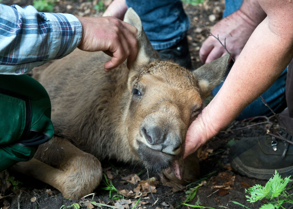 A young moose is cared for by humans.