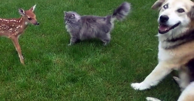 A cat, dog, and fawn all play on the grass together.