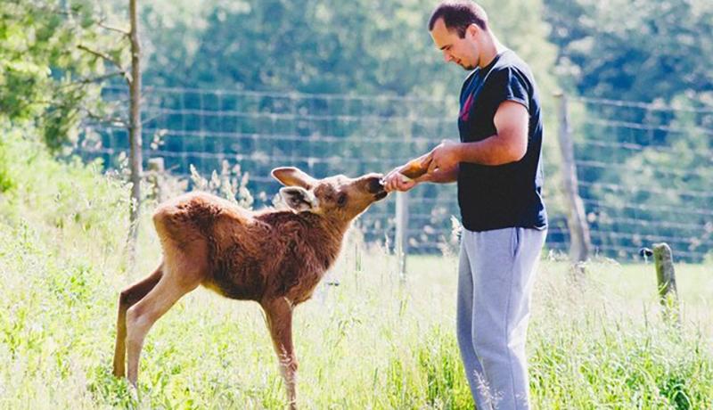 A man bottle-feeds a baby moose.
