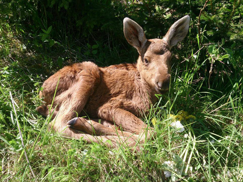 A baby moose lays down in a bed of grass.