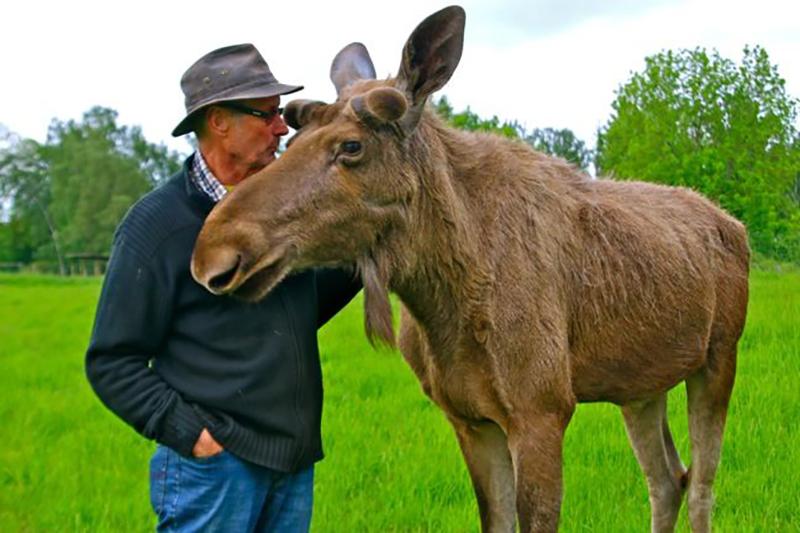 A man pets his grown moose.