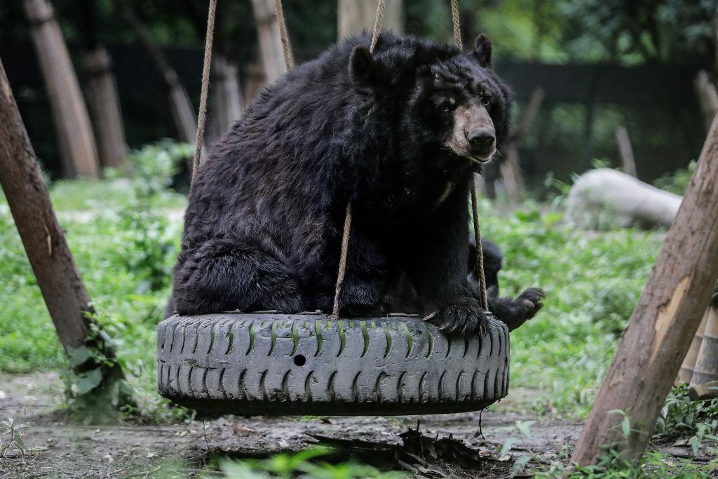 Bear on a swing