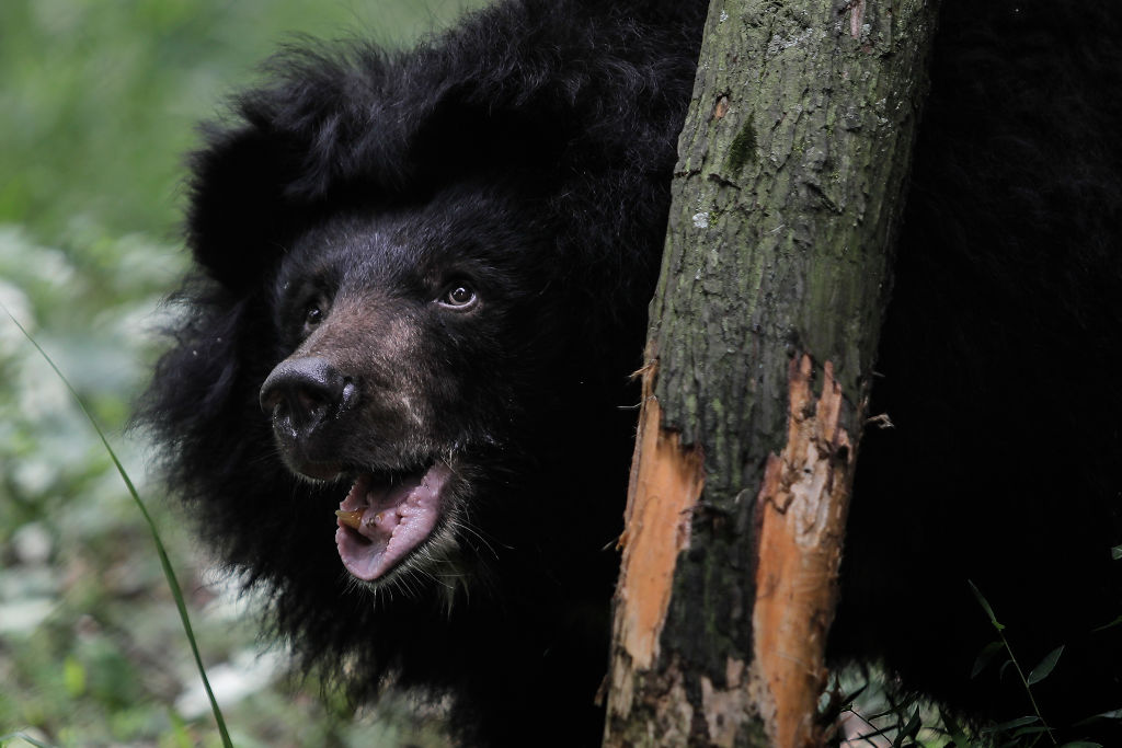 Black bear behind a tree