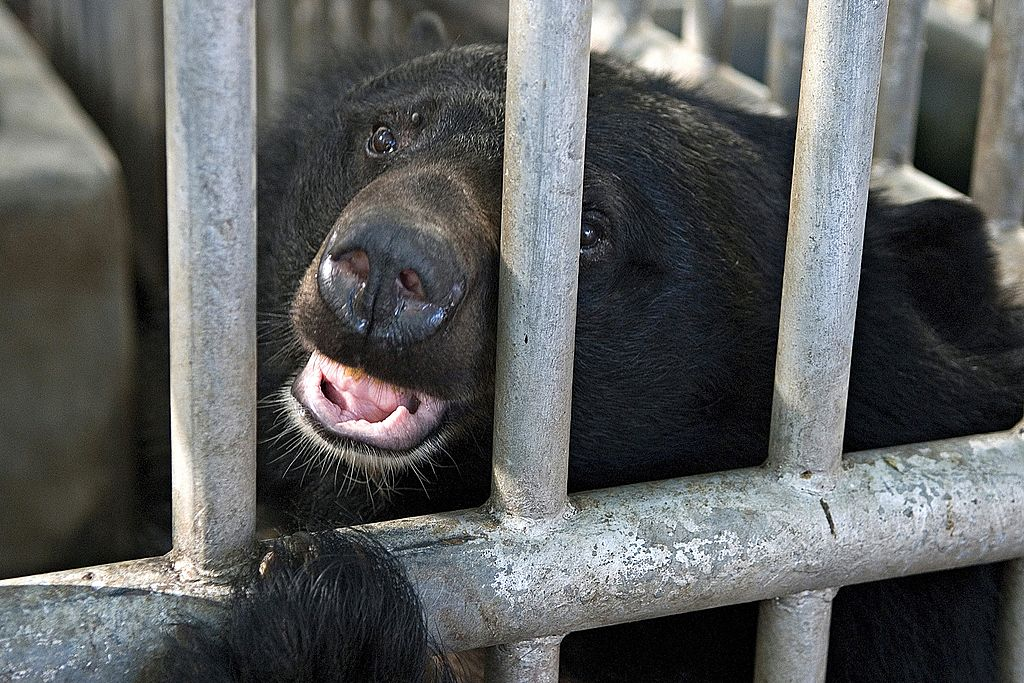 Bear looking through bars