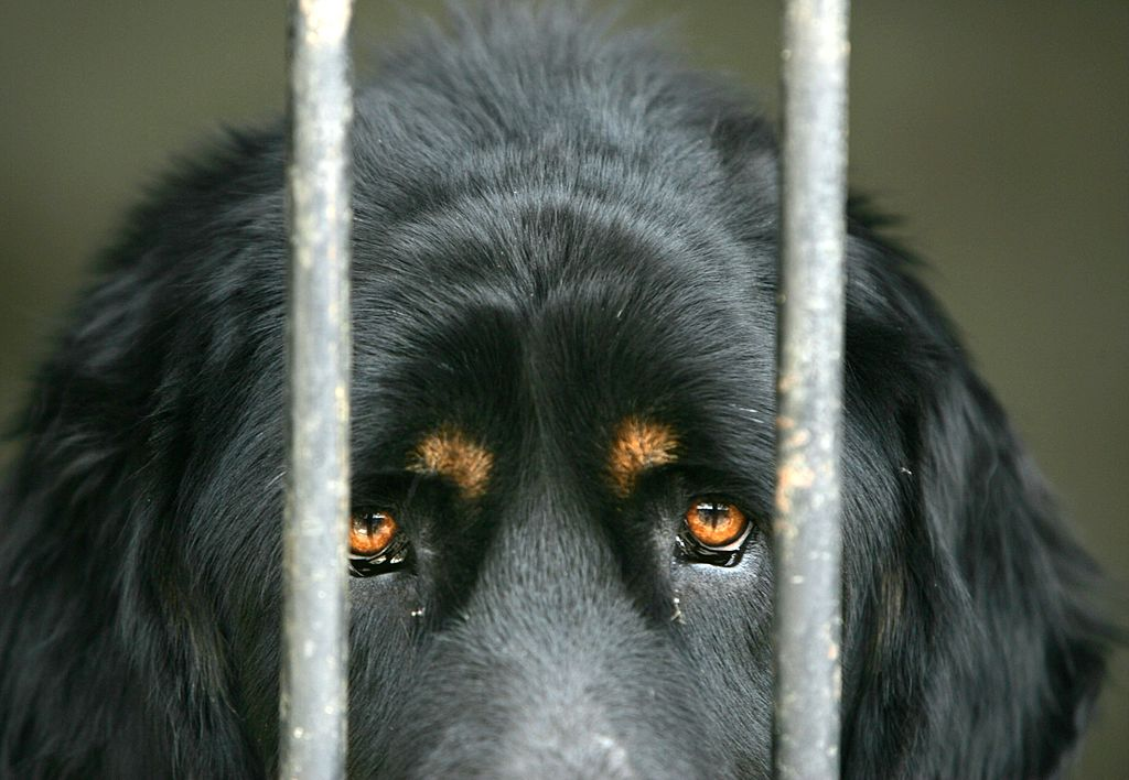 Mastiff in a cage
