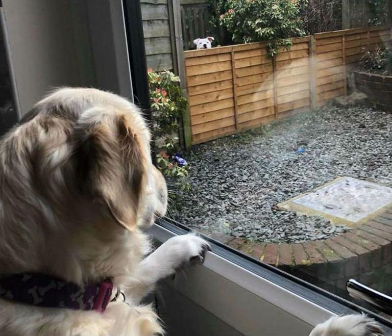 Lola looks through the window at Loki who is peeking over the fence.