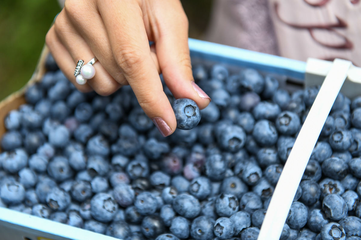 A woman picks up a blueberry from a pile.
