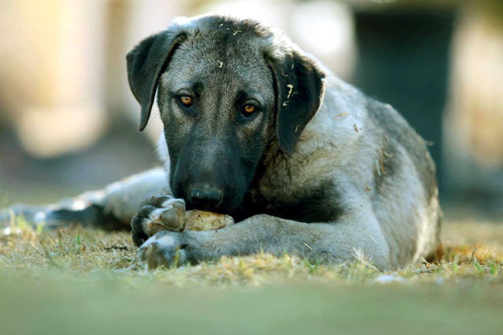A puppy Anatolian Shepherd Dog stares at the camera while eating a bone.
