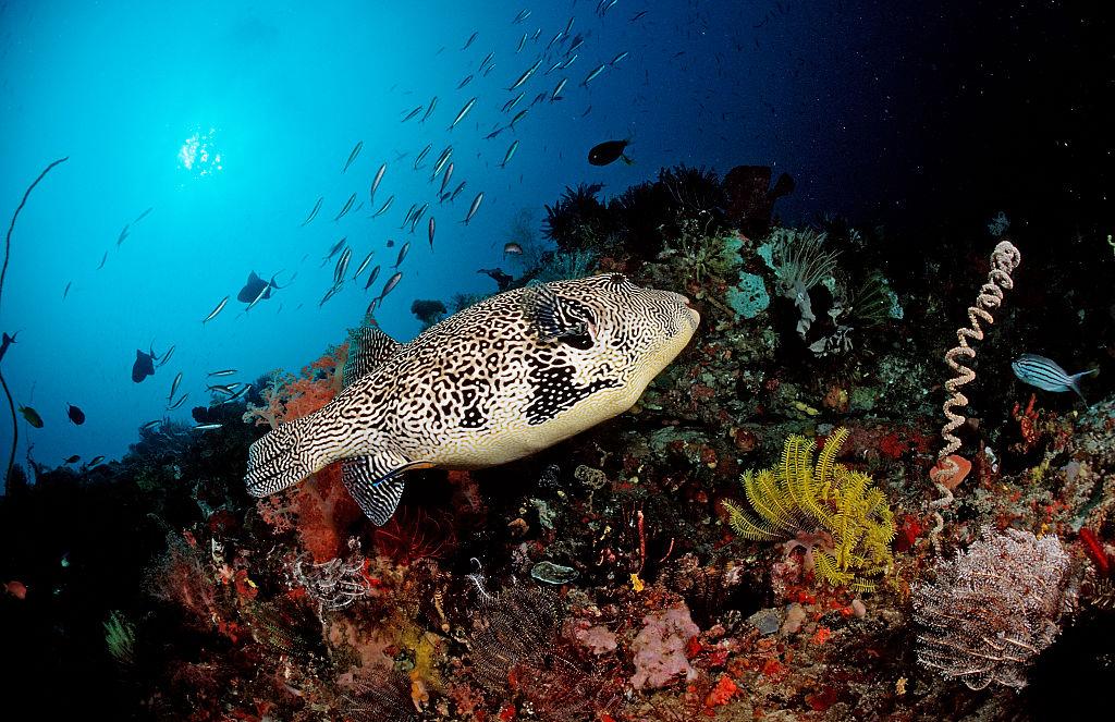 Mugu-Japanese-Pufferfish-548992021