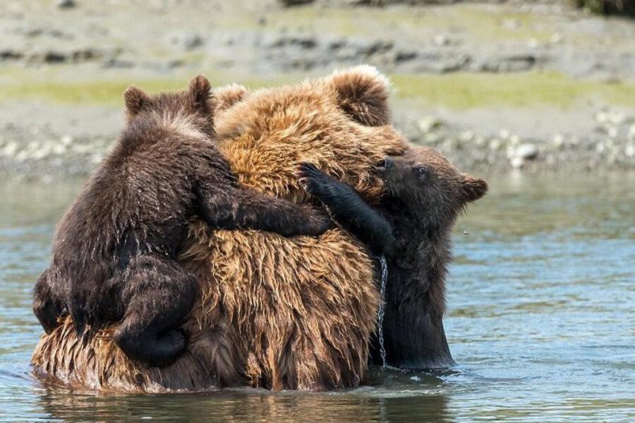 bears-holding-on-for-dear-life-91308-46182