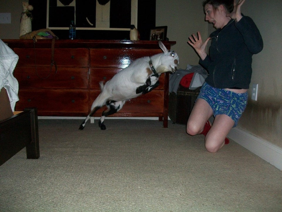 goat-leaping-at-woman
