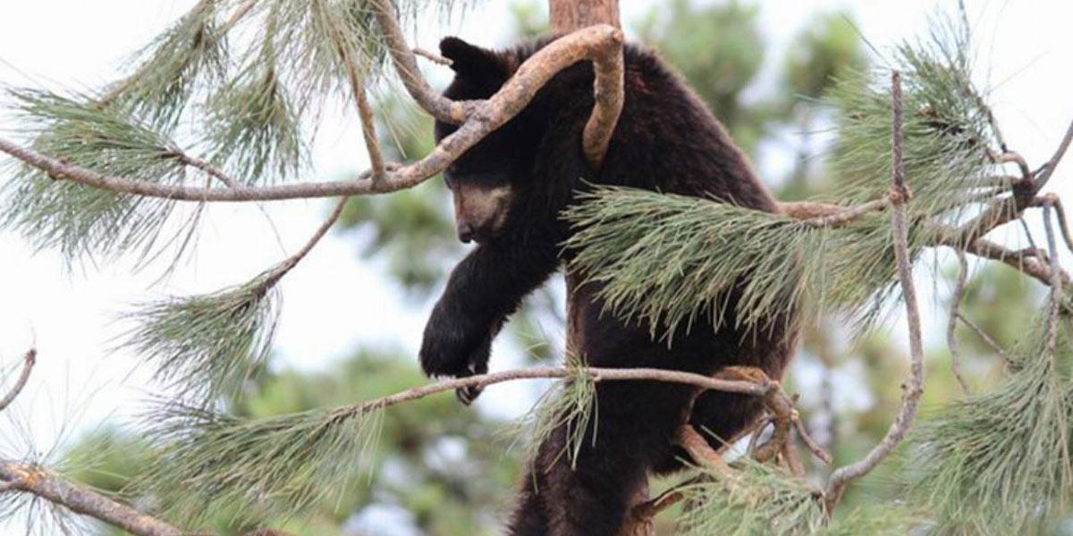 bear featured