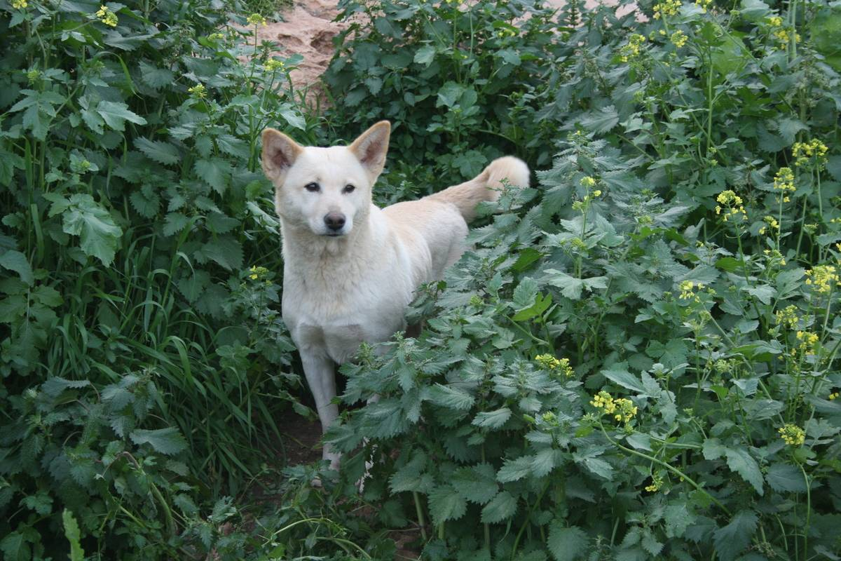 Canaan Dogs Are Constantly On The Alert