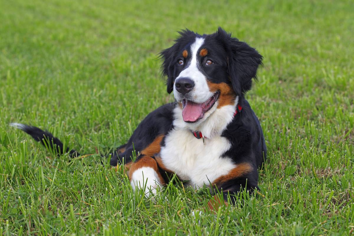 Bernese Mountain Dogs Are Imposing But Not Threatening