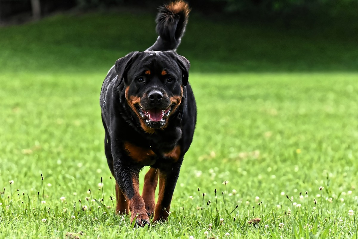 A Rottweiler walks on the grass towards the camera.
