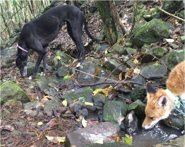 Surprisingly, Not All Dogs Enjoy Foxes!