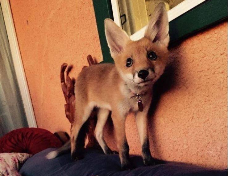 The Sydney Fox Rescue