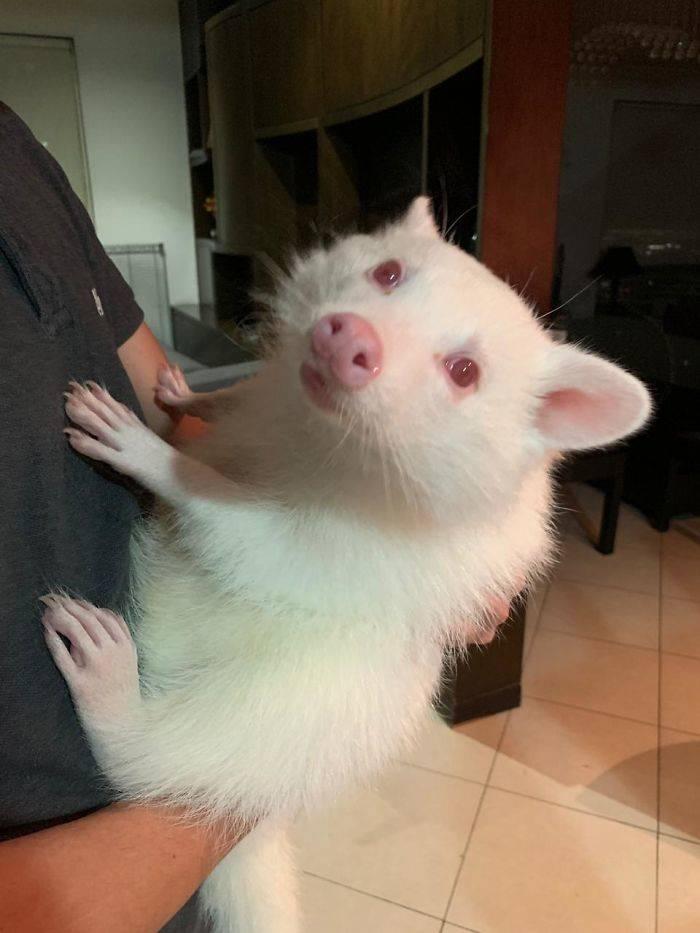 albino raccoon inside