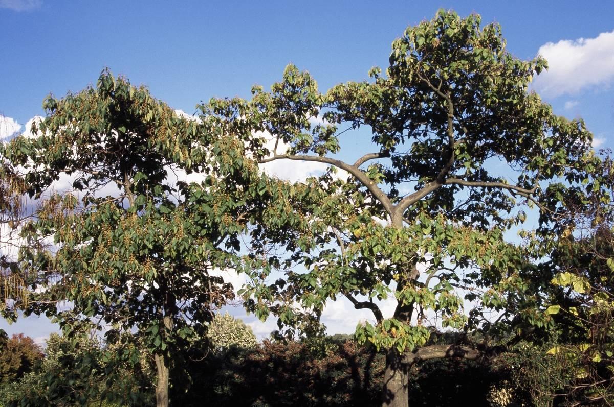 Empress tree specimens (Paulownia tomentosa)...
