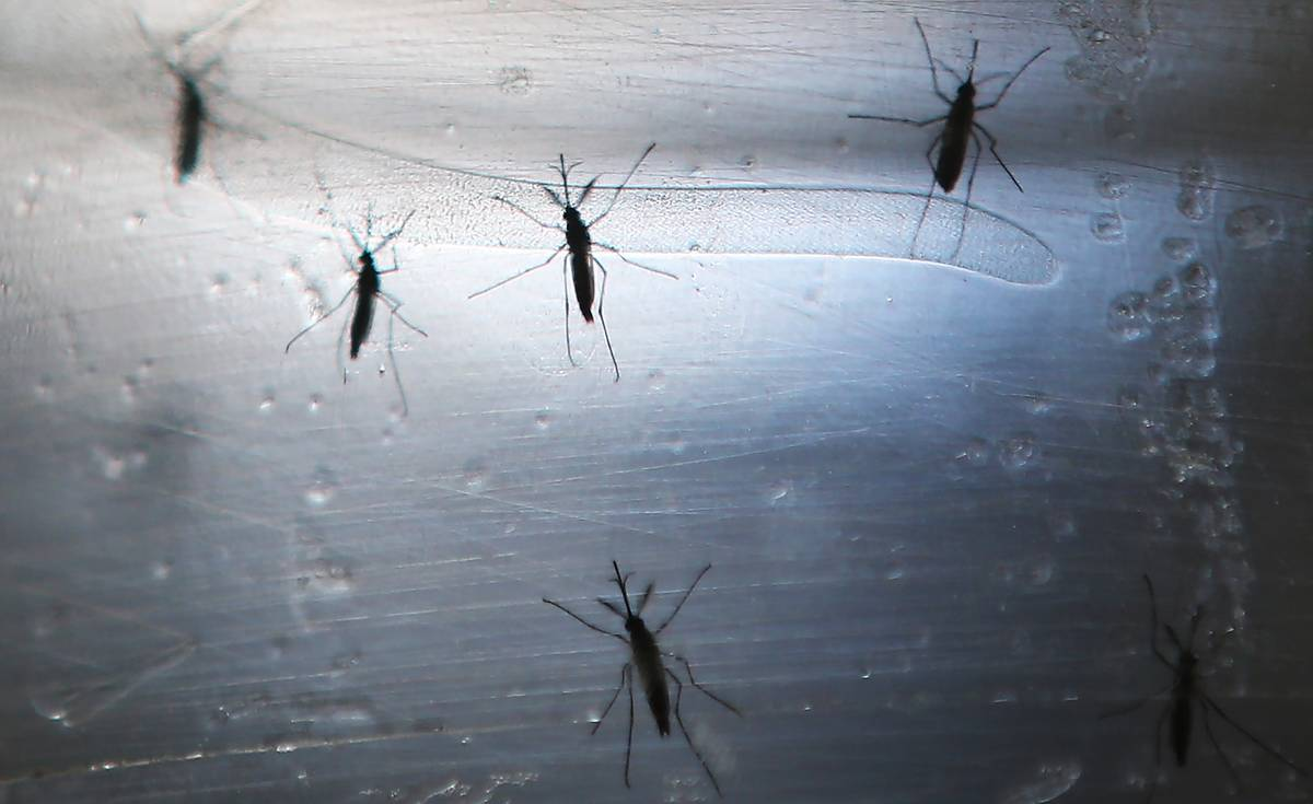 Several mosquitoes cling to a window.
