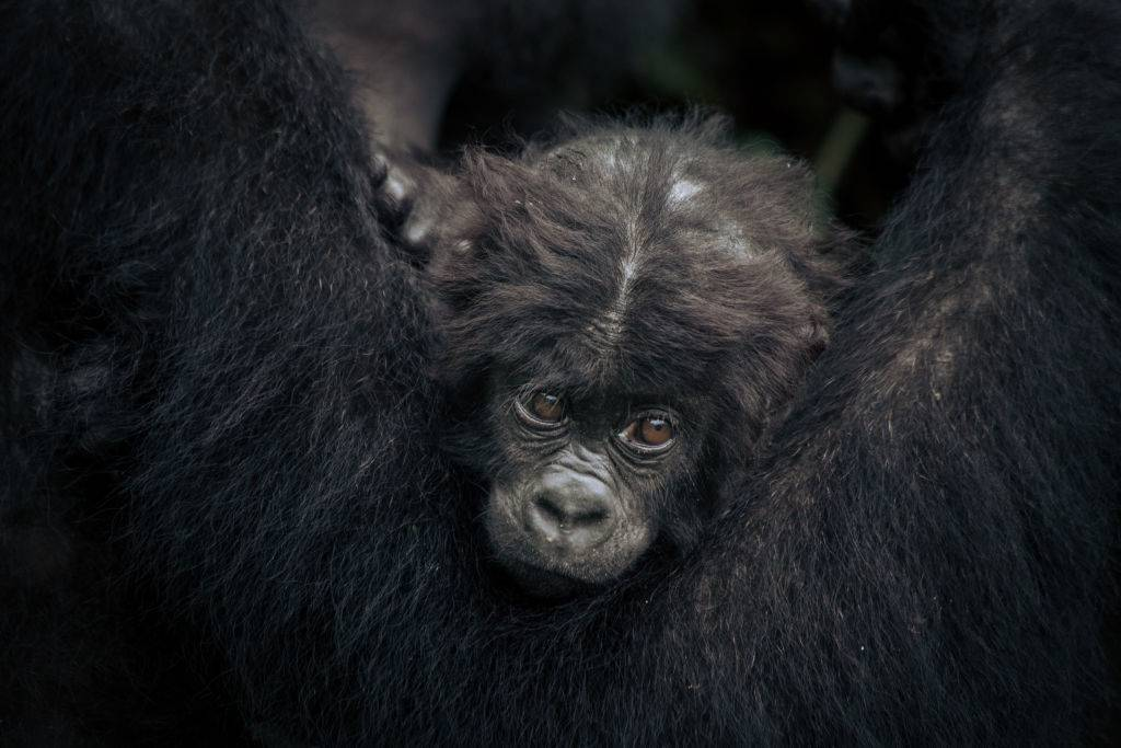 a baby gorilla being held by his mother