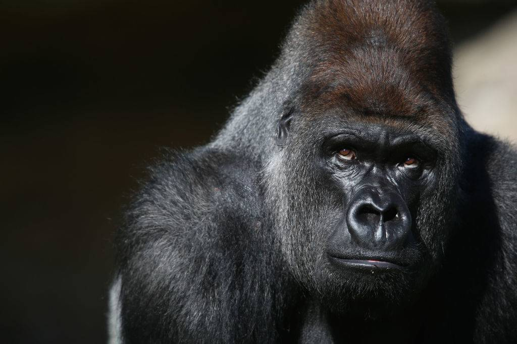 a portrait of a gorilla