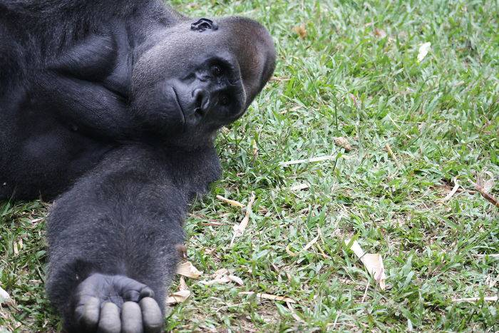 a gorilla laying on the grass with his arm out