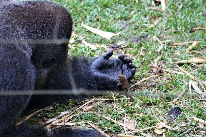 a gorilla holding a bush baby on the grass