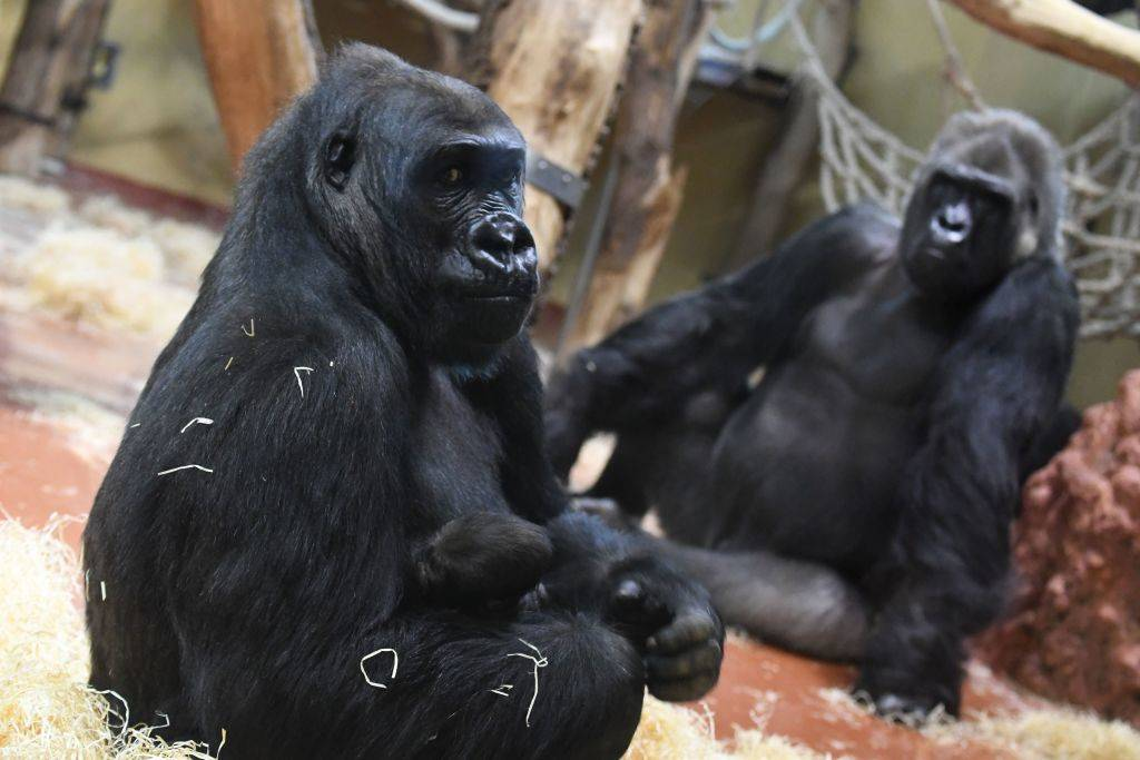 two gorillas sitting by each other