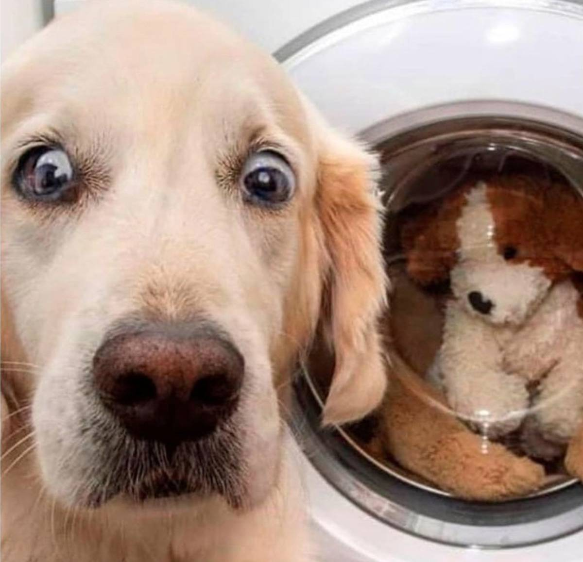 A dog looks panicked because his toy is in the washing machine.
