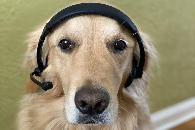 A dog wears a call operator headset.