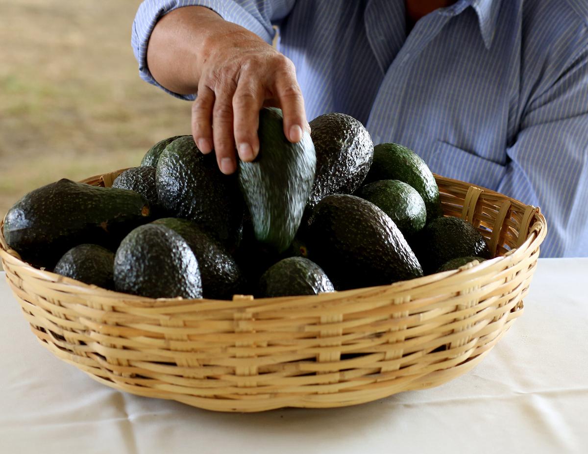 A farmer puts an avocado on a basket.