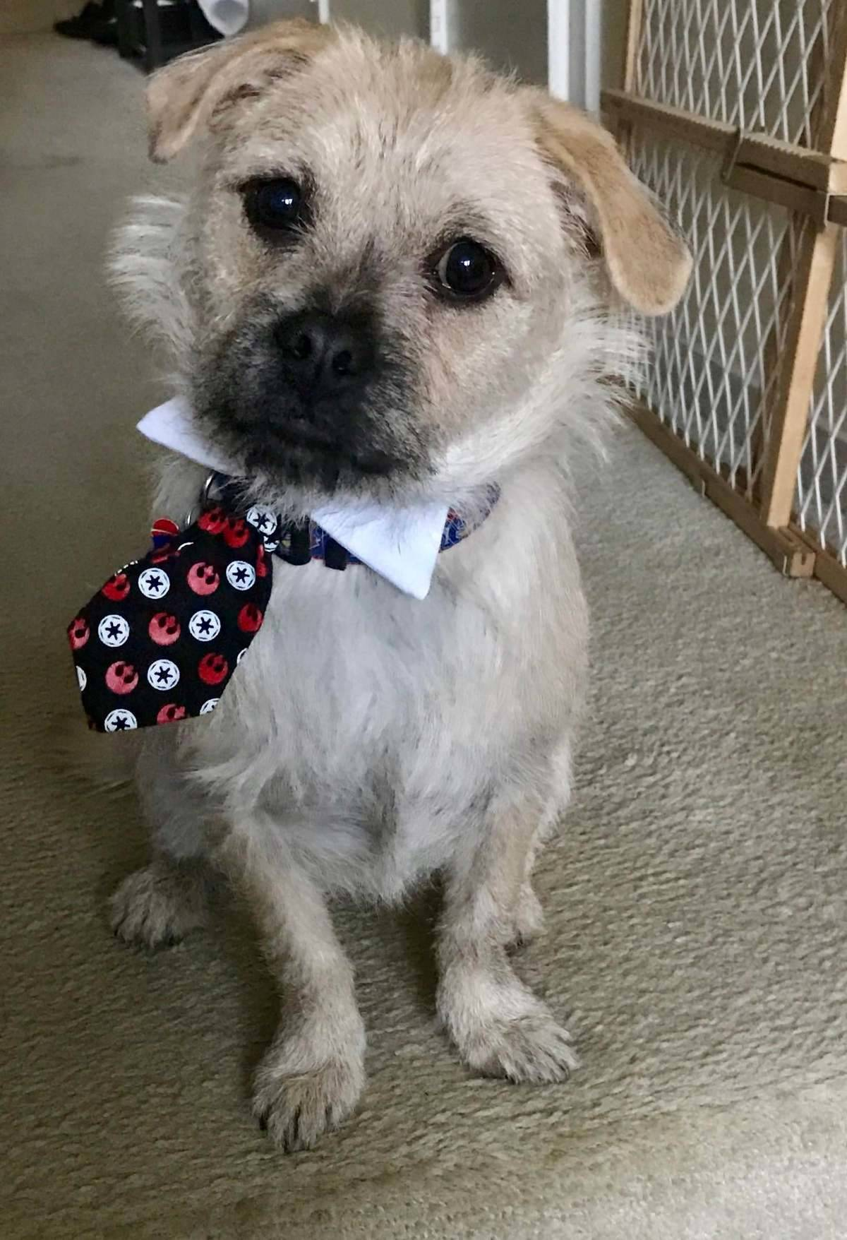 A small dog wears a collar with a tie.