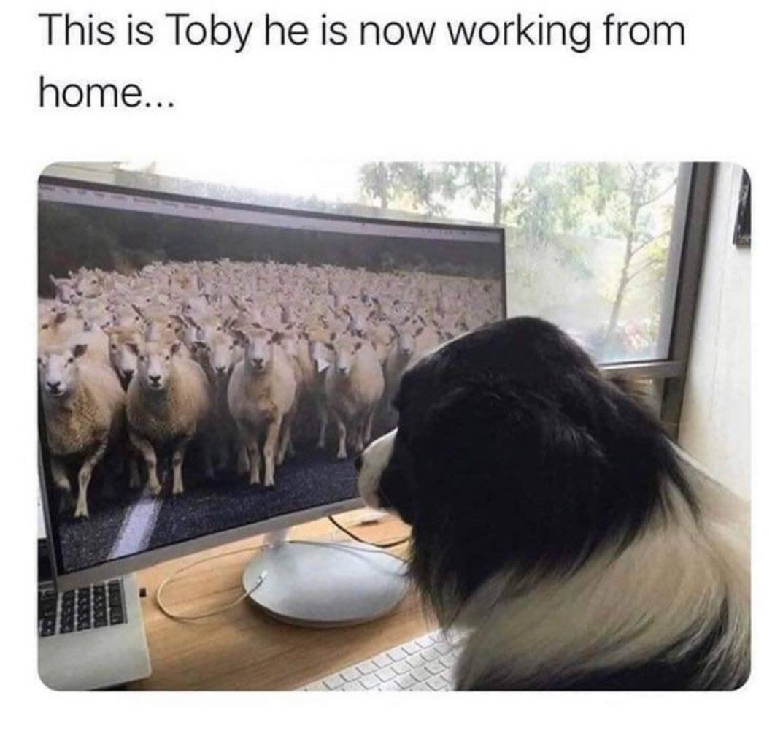 A sheepdog looks at a computer screen of sheep.